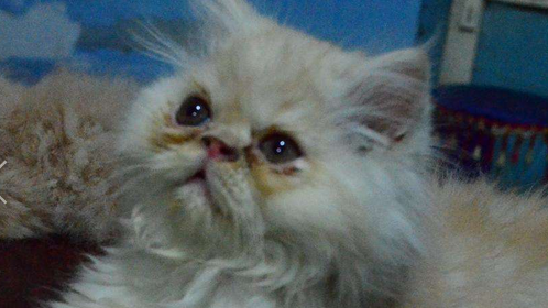 2 Male, 1 Female Triple coat Persian kitten/cats