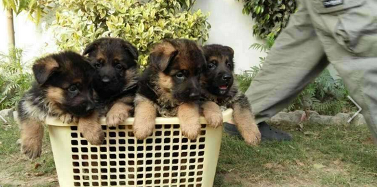 Top Class Highly Quality German shepherd Puppies pair for sell