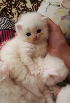 Percian kitten
