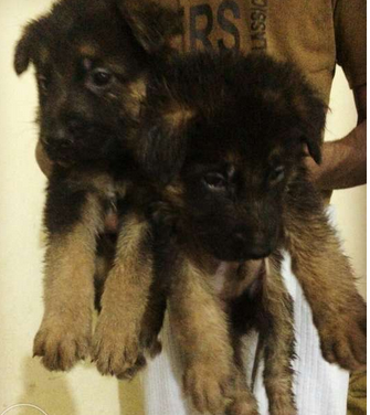 German Shepherd Puppies of VA1