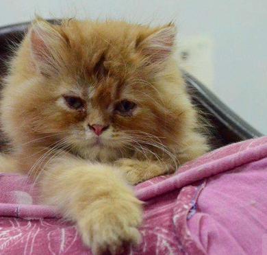 2 Male, 1 Female Triple coat Persian kitten/cats