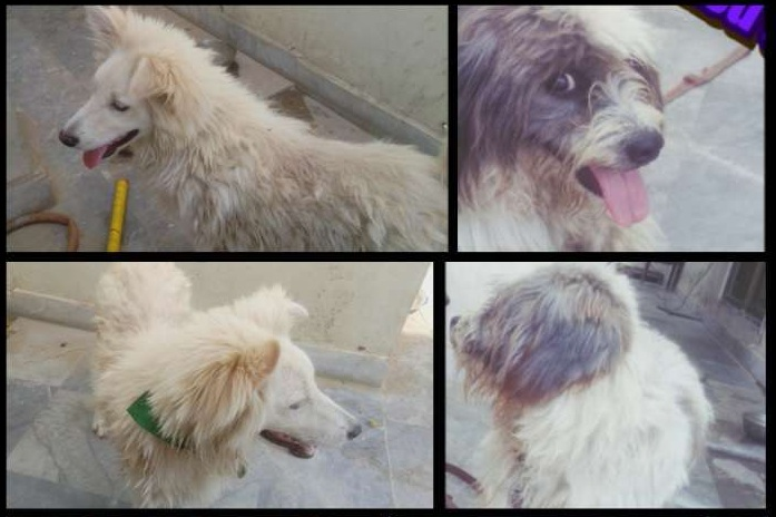 American Samoyed Mix & Shih Tzu Dog available