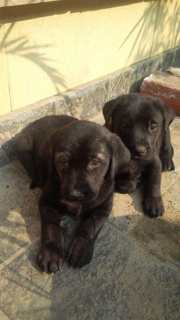 Black jet Labrador puppy for sale