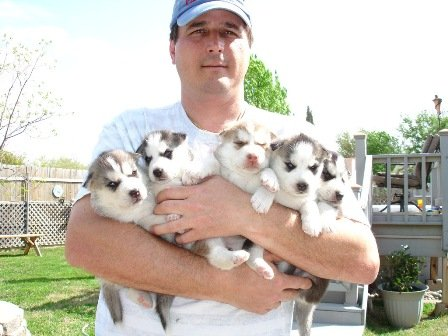 Gorgeours Siberian husky puppies for sale and adoption